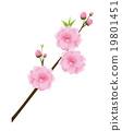 복숭아 꽃 19801451