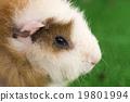 荷蘭豬 自然 生物 19801994
