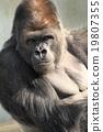 西部低地大猩猩 英俊男人 大猩猩 19807355