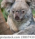Close-up of a koala bear 19807430