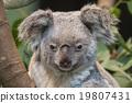 Close-up of a koala bear 19807431