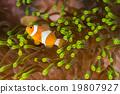 Clow Anemone Fish 19807927