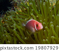 Pink Skunk Clownfish (Amphiprion perideraion) 19807929
