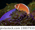 Pink Skunk Clownfish (Amphiprion perideraion) 19807930
