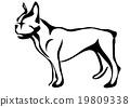 french bulldog 19809338