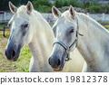 White Horses 19812378