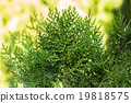 The background of bright green spruce 19818575