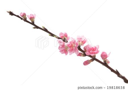 Peach blossoms 19818638