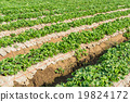 young strawberry field 19824172