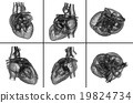 medical  illustration of the heart 19824734
