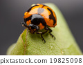 Ladybug closeup. 19825098