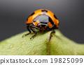 Ladybug closeup. 19825099