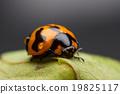 Ladybug closeup. 19825117