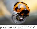 Ladybug closeup. 19825120