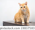 Cute Fat Orange Cat 19837583