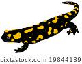 Fire Salamander  19844189