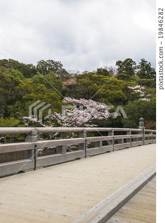 伊勢神宮春天的櫻花樹 19846282
