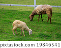 Sheep forage in sunny summer pasture 19846541