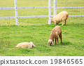 Sheep forage in sunny summer pasture 19846565
