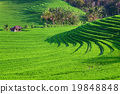 Green rice terraces landscape on Bali island 19848848