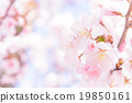 樱花 樱桃树 山桜 19850161