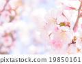 cherry, blossom, tree 19850161