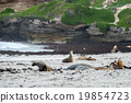 australian sea lion relaxing on the beach 19854723