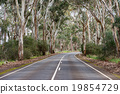 south australia road in eucalyptus forest 19854729