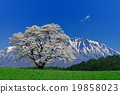 koiwai farm, cherry blossom, cherry tree 19858023