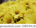 Chrysanthemum · full bloom Park flowers 19859418