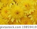 Chrysanthemum · full bloom Park flowers 19859419