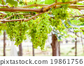 grape tree in the garden 19861756