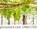 grape tree in the garden 19861756