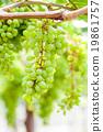 grape tree in the garden 19861757