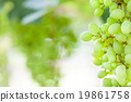 grape tree in the garden 19861758