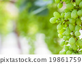 grape tree in the garden 19861759