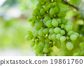 grape tree in the garden 19861760
