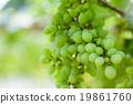 grape tree in the garden 19861760