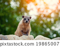 Rock hyrax walking on the rock 19865007