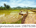 footpath in the rice fields 19870286