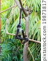 Spider monkey on a tree 19873817