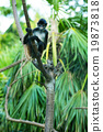 Spider monkey on a tree 19873818