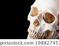 骨架 頭骨 骨骼 19882745