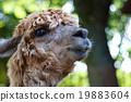 駱駝 哺乳動物 駱駝科 19883604