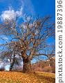 Chestnut Trees in Winter 19887396