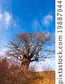 Chestnut Tree in Winter 19887944