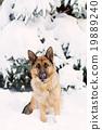 German Shepherd dog, standing in the snow 19889240