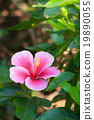 Beautiful pink flower in the garden. Cha-ba flower 19890055