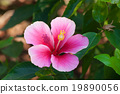 Beautiful pink flower in the garden. Cha-ba flower 19890056