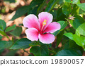 Beautiful pink flower in the garden. Cha-ba flower 19890057
